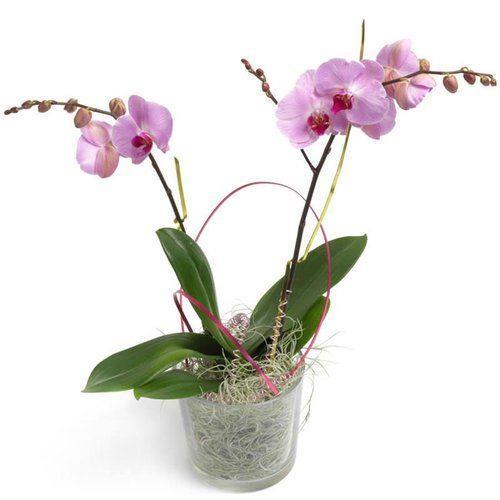 Cukierkowa Orchidea